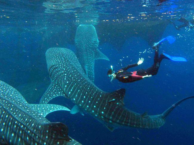 Whale Sharks at Oslob